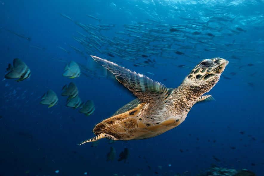 Una tortuga carey atraviesa un mar de peces murciélago y barracudas en Kimbe Bay, Papúa Nueva ...