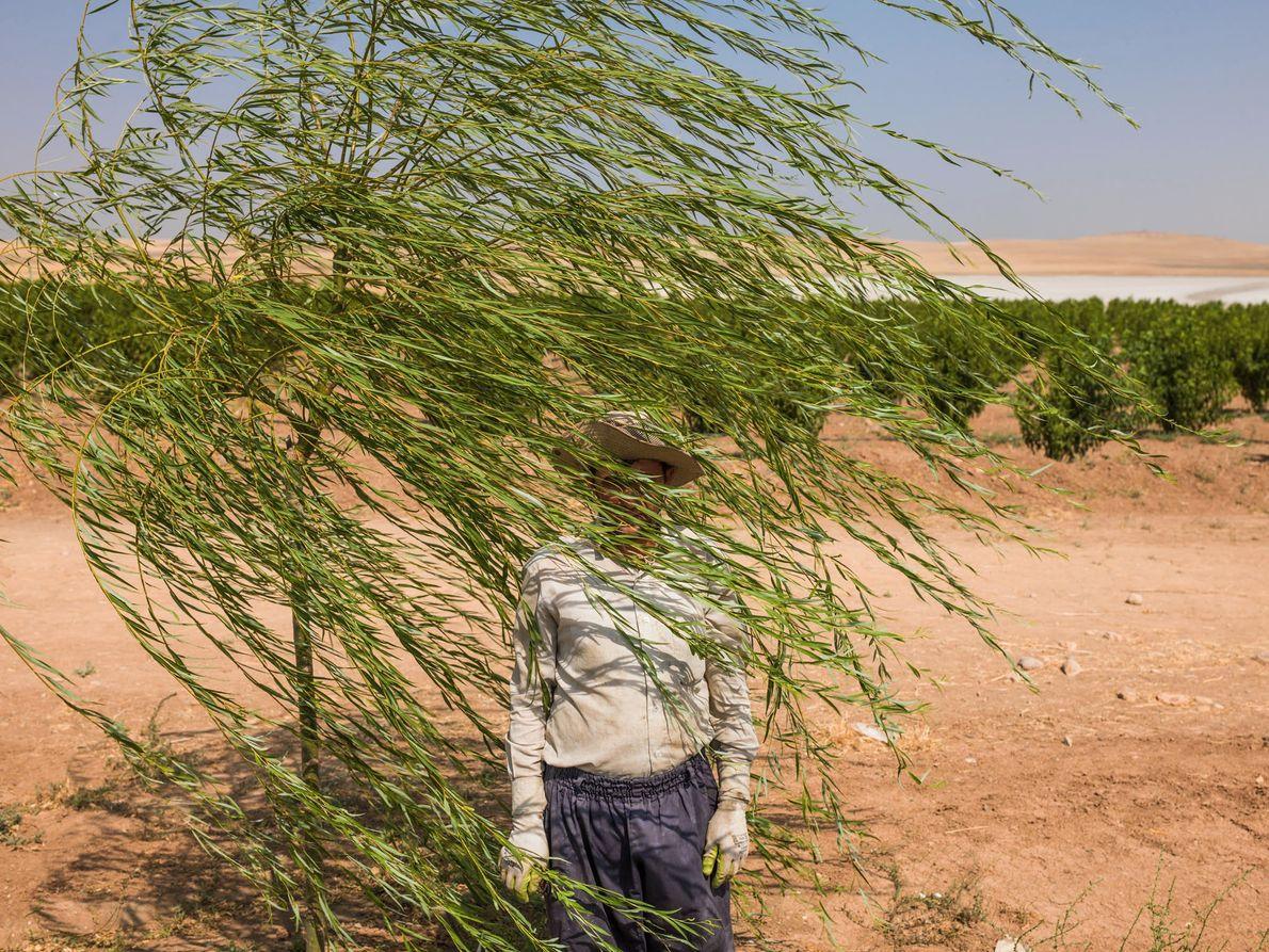 Reza Manafzadeh trabaja en una huerta de árboles frutales a orillas del lago Urmia de Irán, ...