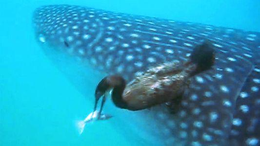Extraño comportamiento: Un ave despega una rémora de un tiburón en México