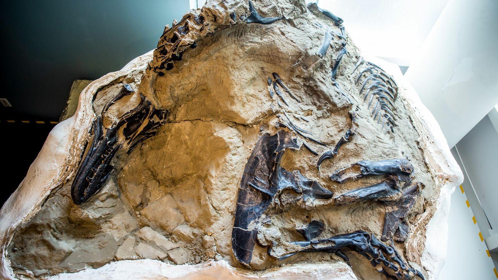 En 2006, un grupo de buscadores de fósiles encontró este tiranosaurio casi completo junto con los ...