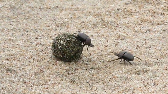 Escarabajos peloteros luchan por una bola de estiércol