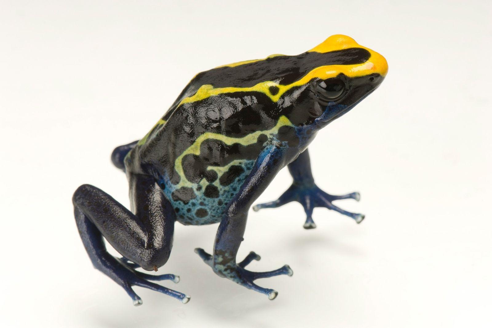 Las ranas punta de flecha viven en los bosques tropicales de América del Sur, donde se ...