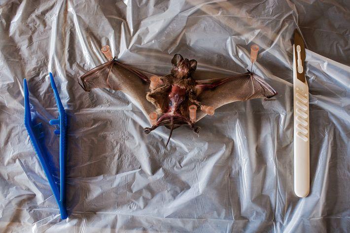Un murciélago del que se sospecha que es portador del virus del ébola se prepara para ...