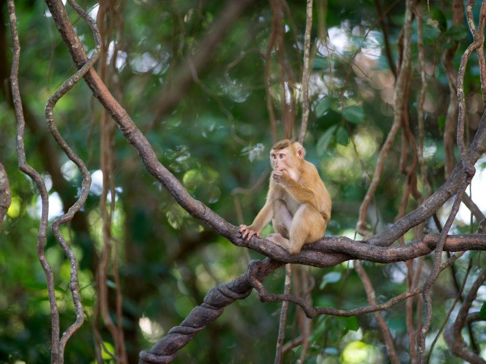 Tailandia: siguen utilizando monos en la recolección de coco a pesar de las denuncias