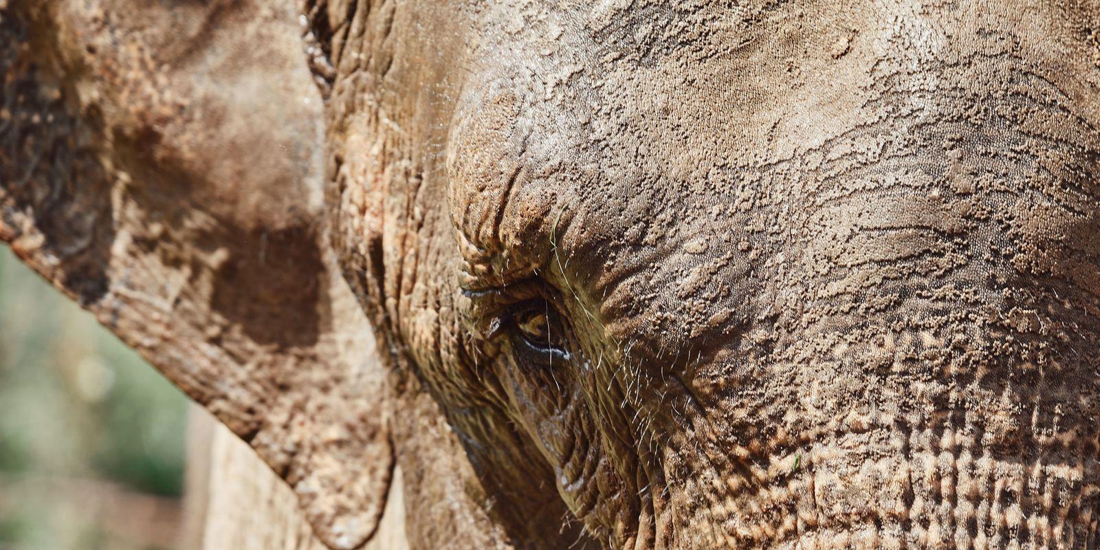 Tiempos de pandemia: el traslado de la elefanta Mara de Argentina a Brasil en medio de ...