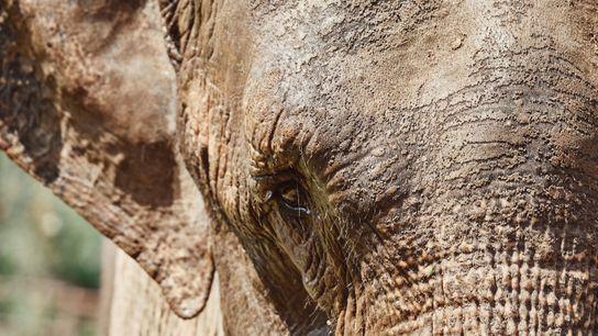 Mara, una elefanta asiática, que vivió gran parte de su vida entre circos y zoológicos, es trasladada ...
