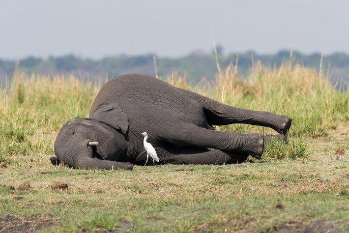 Una posible explicación de las muertes de los elefantes es la intoxicación por ántrax. Anteriormente, la ...