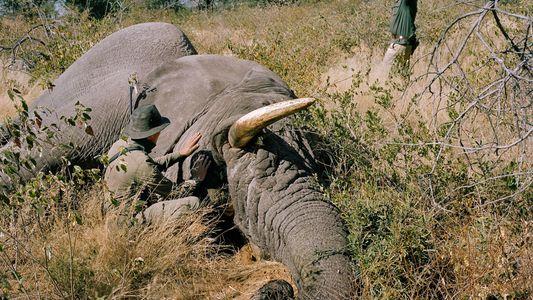 Botswana levanta la prohibición de cazar elefantes