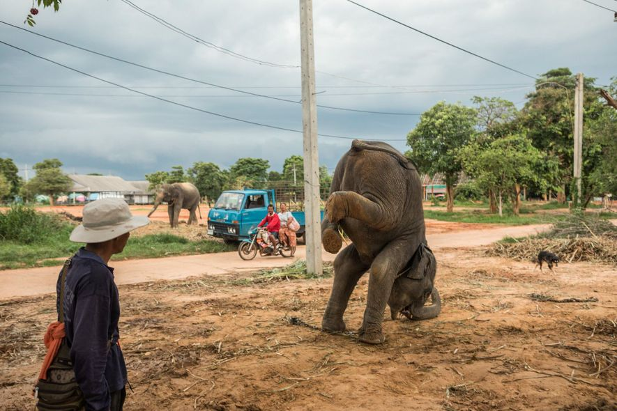 Un mahout instruye a un elefante joven para que practique pararse sobre las manos. Cuando un ...