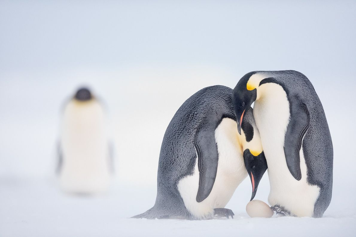 Antes de salir al mar para cazar durante dos meses, un pingüino emperador hembra ayuda a ...