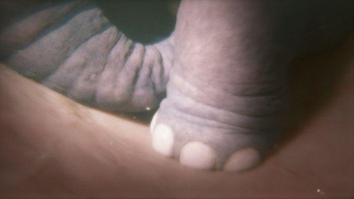 """El pie de un elefante nonato en una simulación creada para """"Familia de Animales"""" de National ..."""