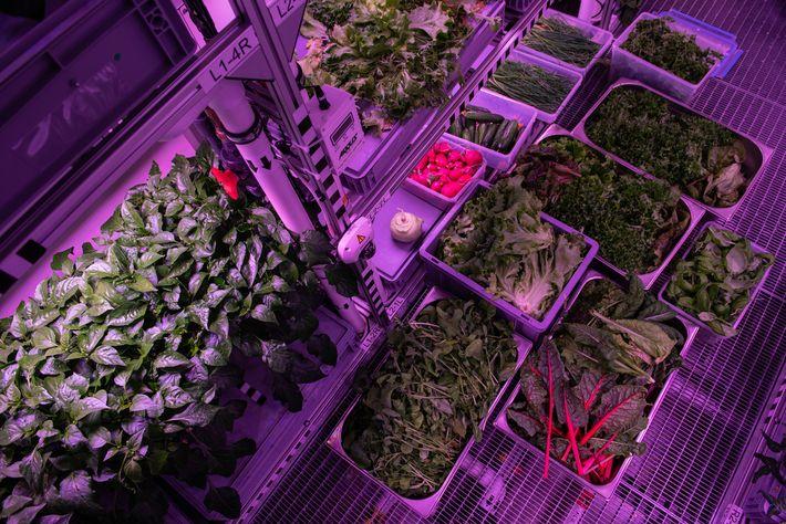 Los vegetales cosechados se alinean en los estantes del invernadero Neumayer, creando una especie de pasillo ...