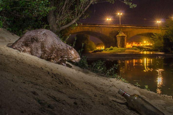 Un castor europeo camina a lo largo de la orilla del río en Grenoble, Francia. Una ...