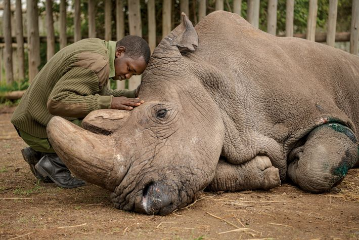 Joseph Wachira, cuidador del área de conservación Ol Pejeta, en Kenia, se despide de Sudán, el ...