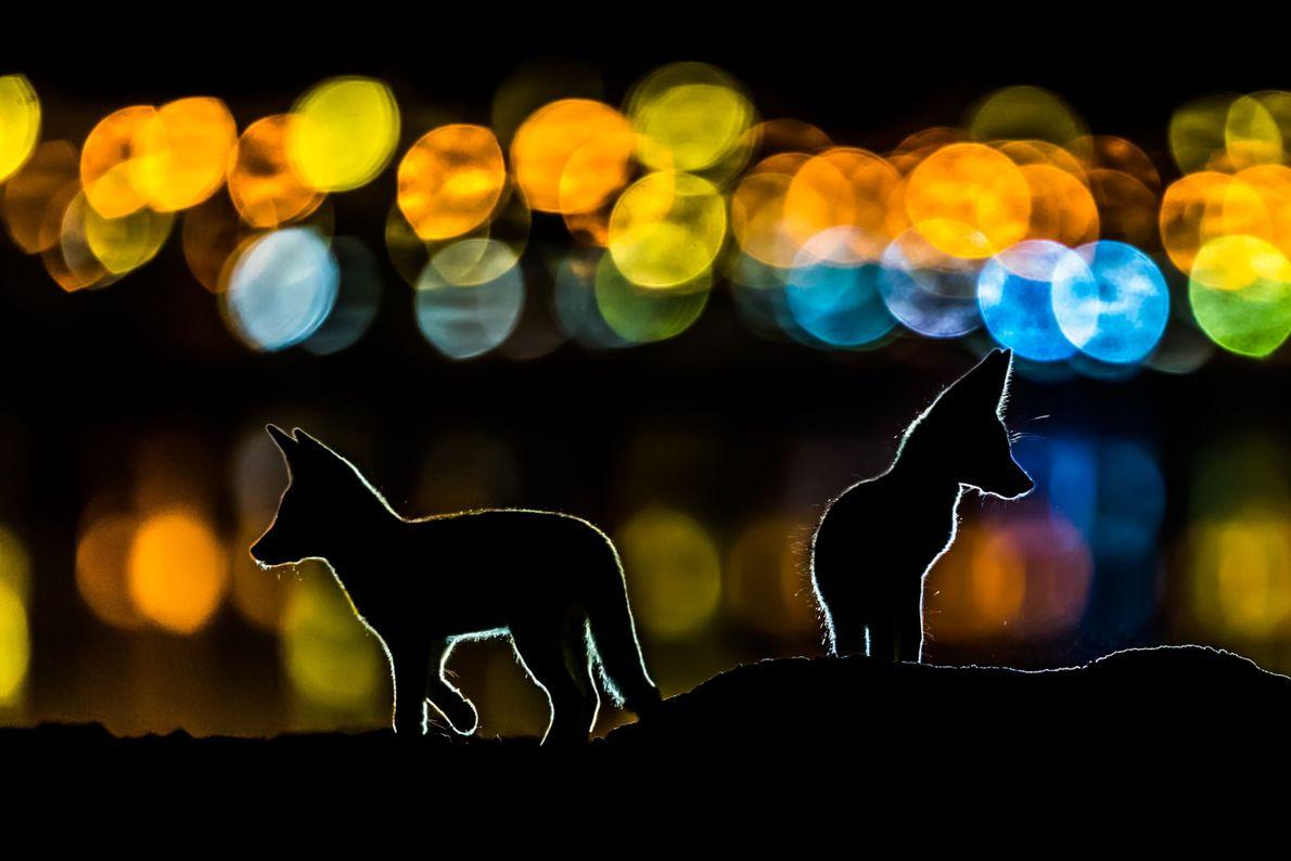 Zorros nocturnos
