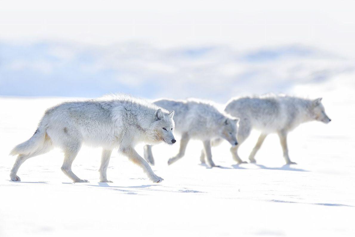 Lobos blancos