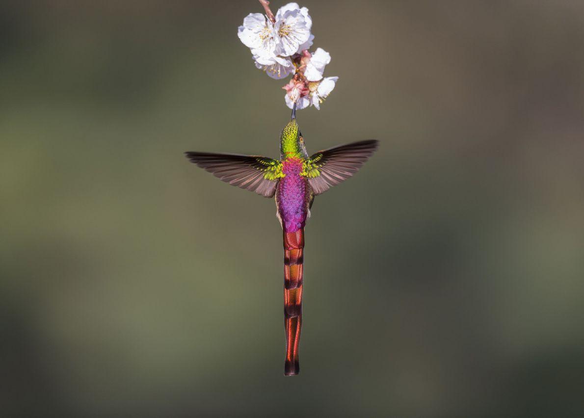 Bello colibrí