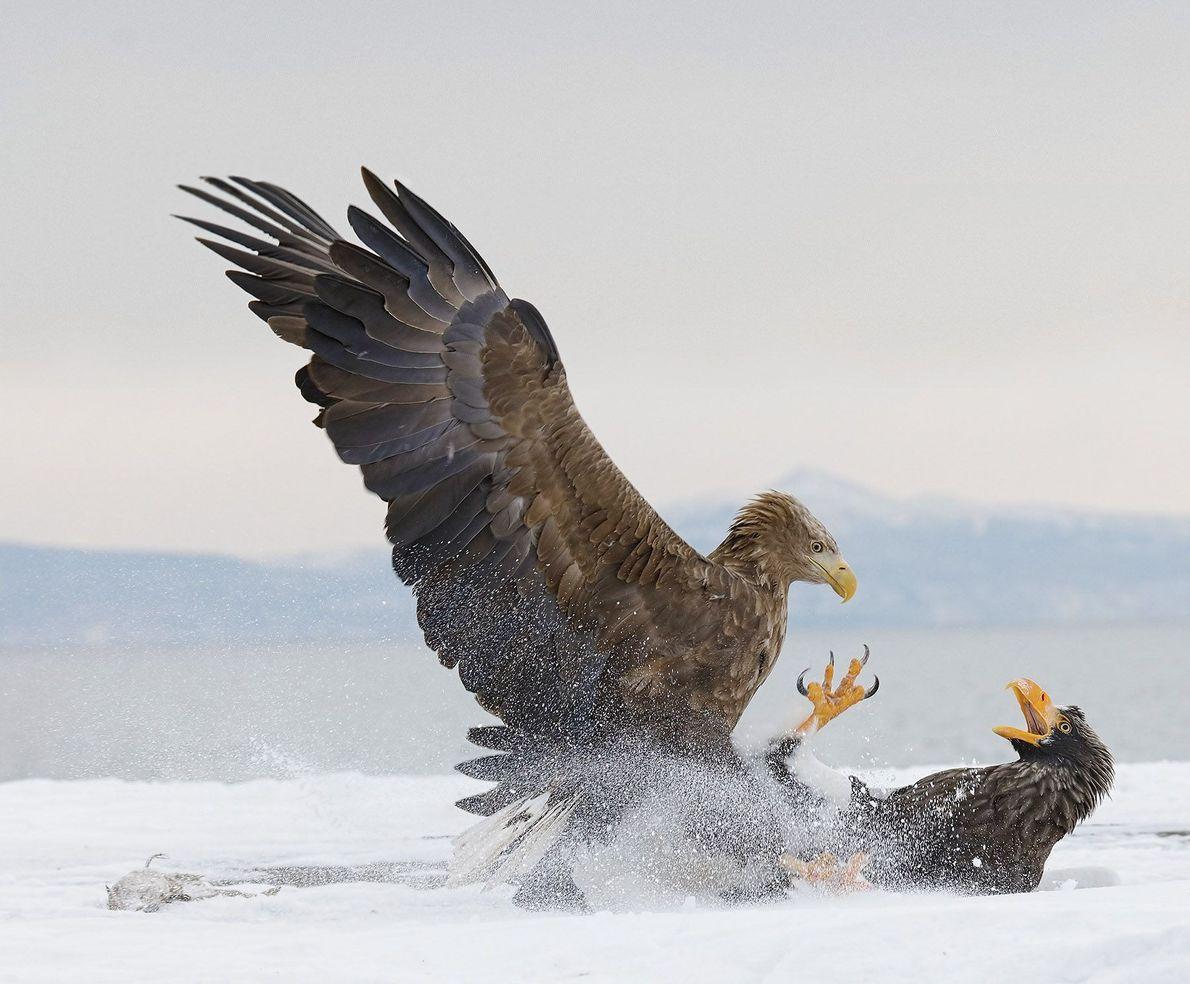 Águila gritando