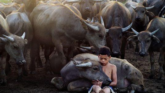 Pastor de búfalo