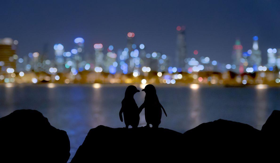 Velada romántica para pingüinos
