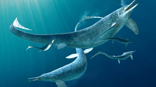 Esta ilustración muestra un grupo de Besanosaurus, un género de ictiosaurios, antiguos reptiles marinos que se ...