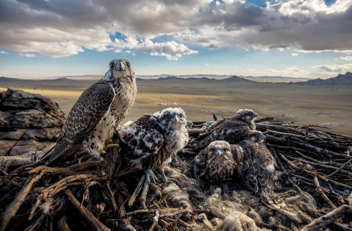 Un halcón sacre hembra protege a sus polluelos en la planicie mongola. Se dice que Gengis ...