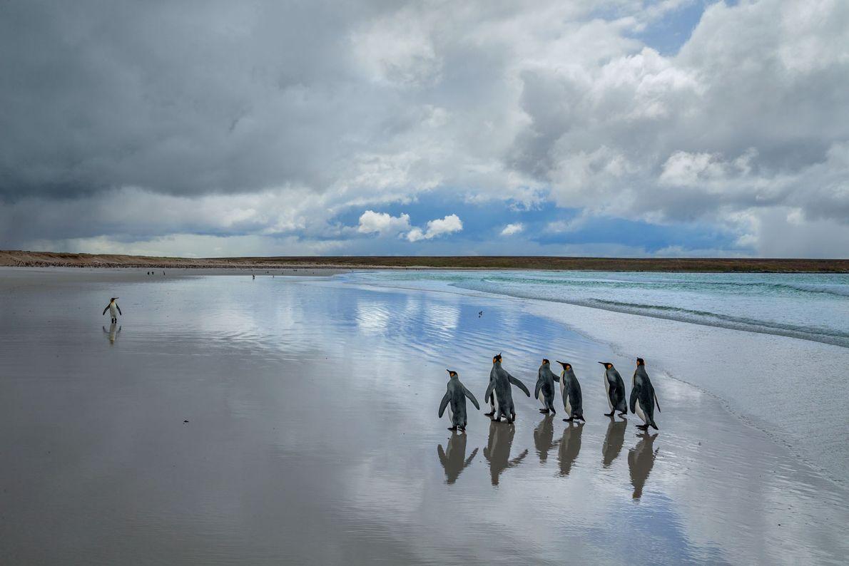 Los pingüinos rey se pasean en la arena blanca de Punta Voluntarios en las islas Malvinas. ...