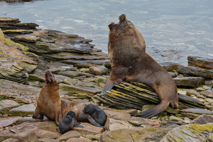 In the Falkland Islands, a male southern sea lion, about nine feet long and 800 pounds, ...