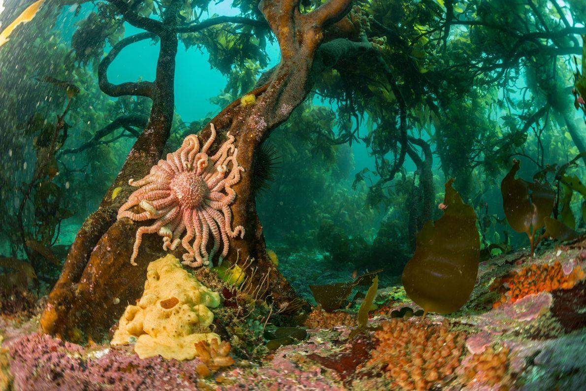 Una estrella solar se adhiere a unas algas en el frío Atlántico Sur frente a la ...