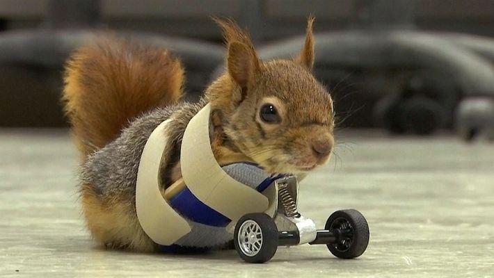 Unas ruedas protésicas ponen una ardilla en camino hacia la recuperación