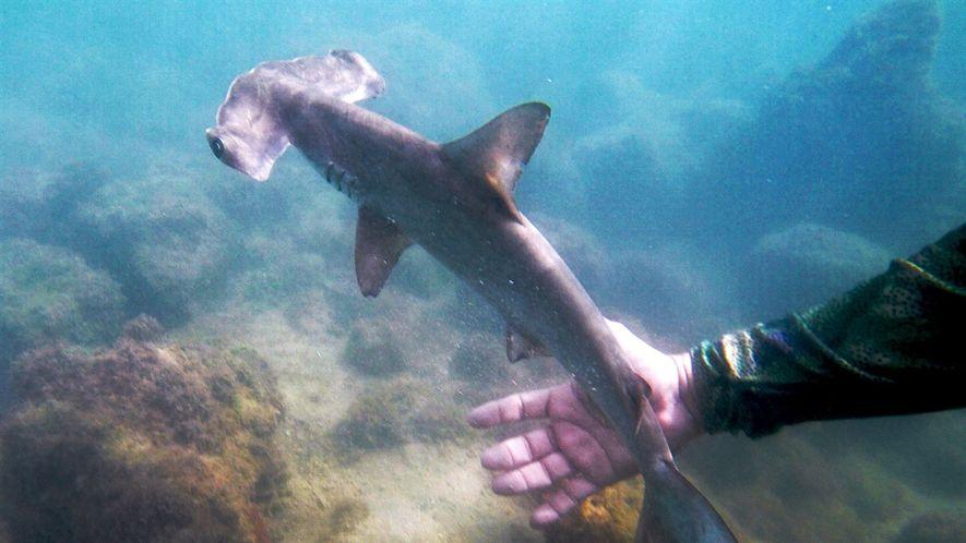Descubre esta guardería de tiburones martillo, escondida en las Galápagos