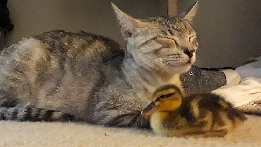 Una familia felina adopta a un pato