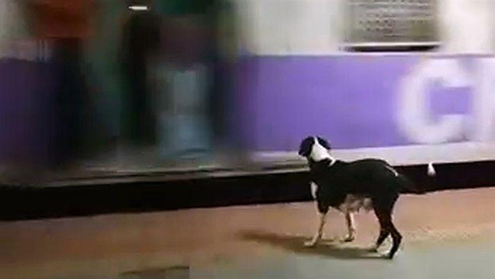 Esta perra espera todas las noches el mismo vagón de tren