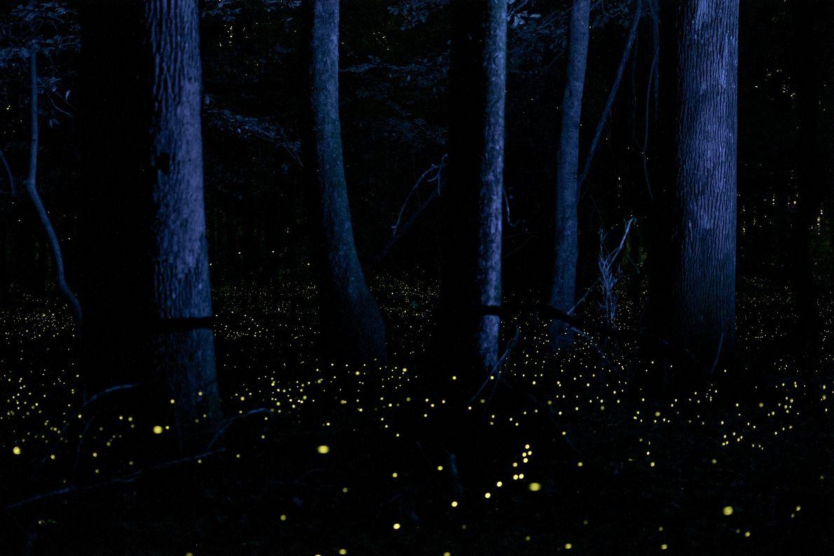 """Las luciérnagas conocidas como """"sincronizadoras rápidas"""" iluminan las tierras bajas del Parque Nacional Congaree de Carolina del ..."""