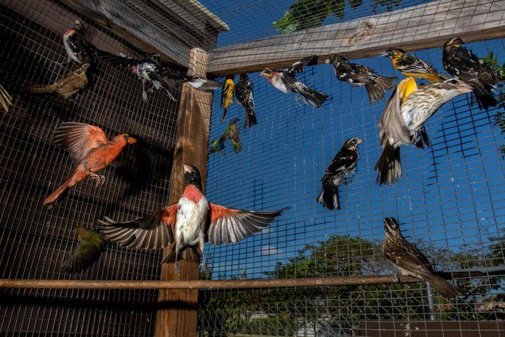 En Florida capturan miles de aves cantoras migratorias cada año para suministrar un mercado ilegal pujante. ...