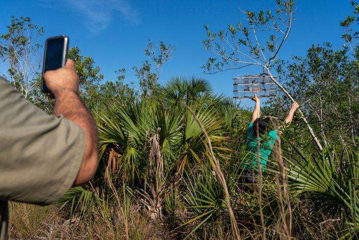 Eglis González, un trampero novato nacido en Cuba, recoge una de sus dos trampas de pájaros ...