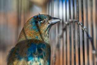 Lázaro Enamorado tenía encerrado de forma ilegal, en una pequeña jaula en su patio en Miami, ...