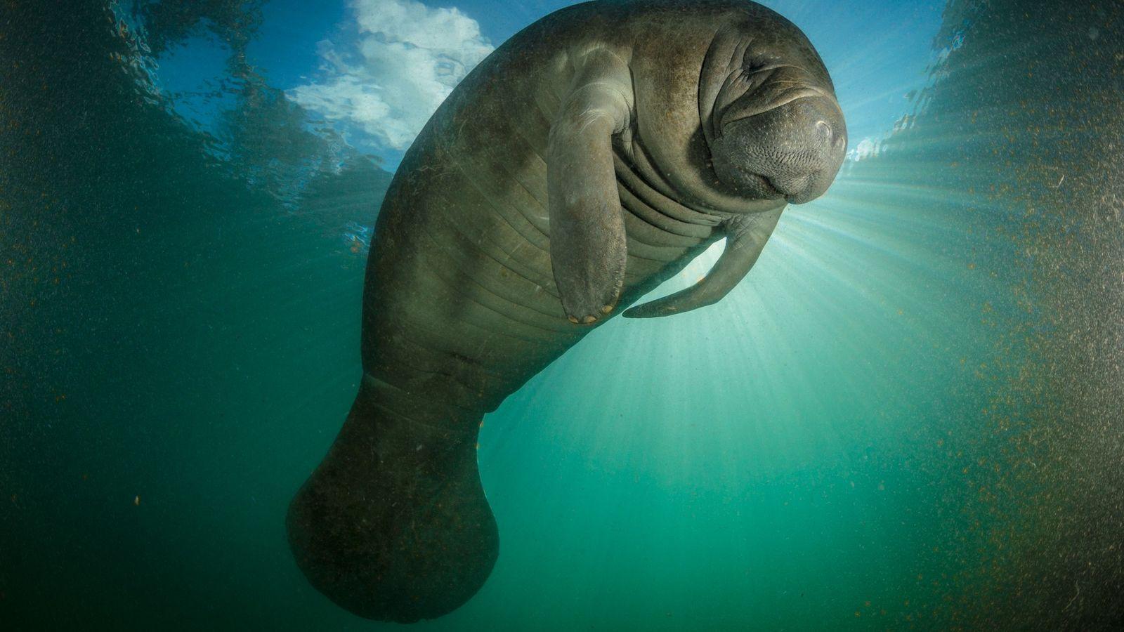 Un manatí nada en algas verdeazuladas, que han invadido las vías fluviales de Florida y ponen ...