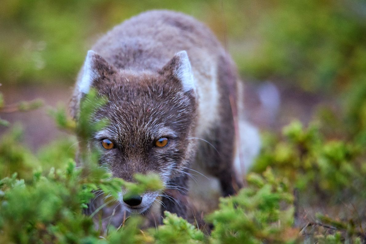 Un zorro ártico se escabulle por los arbustos cerca de un campamento, con la esperanza de ...
