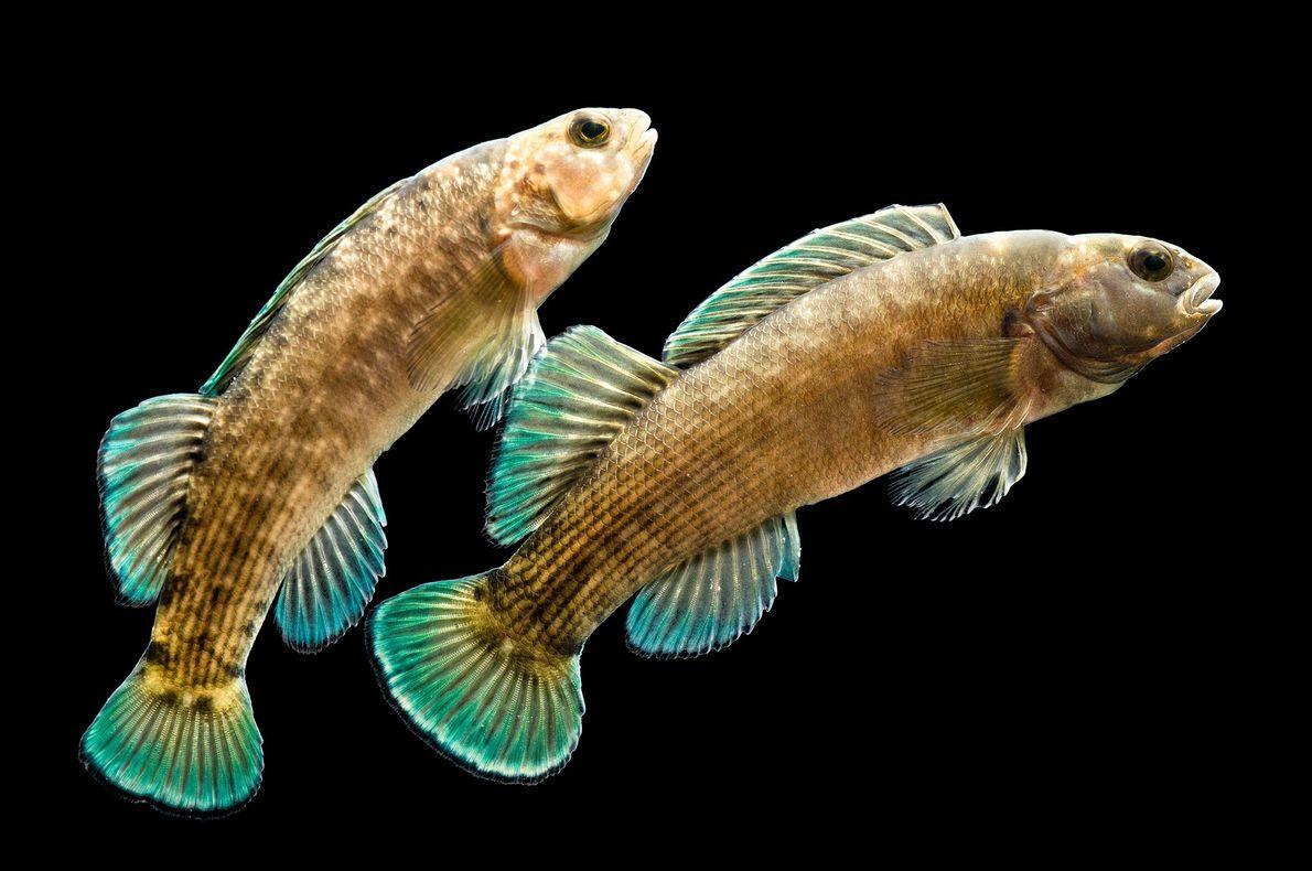 """Estos peces son """"Etheostoma wapiti"""", una especie en peligro de extinción. Pertenecen a la familia de ..."""