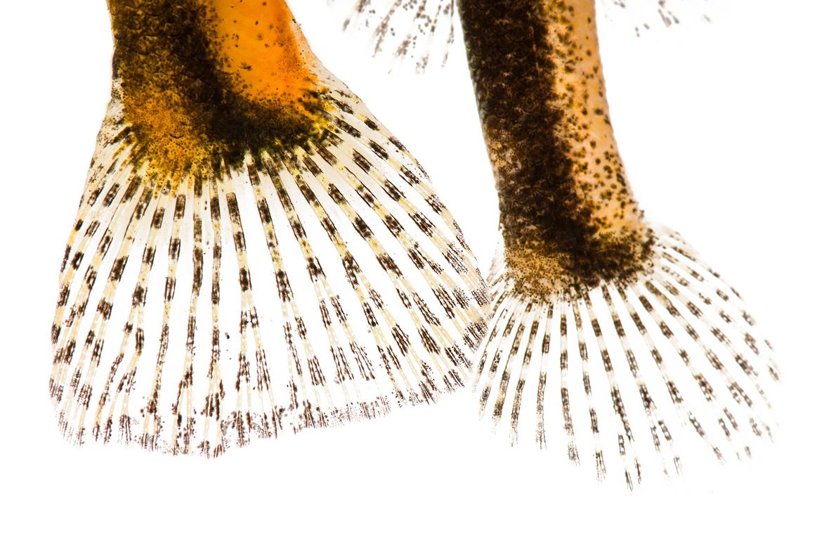 "Estos ""Etheostoma boschungi"" en peligro de extinción forman parte de un grupo emparentado con las percas ..."
