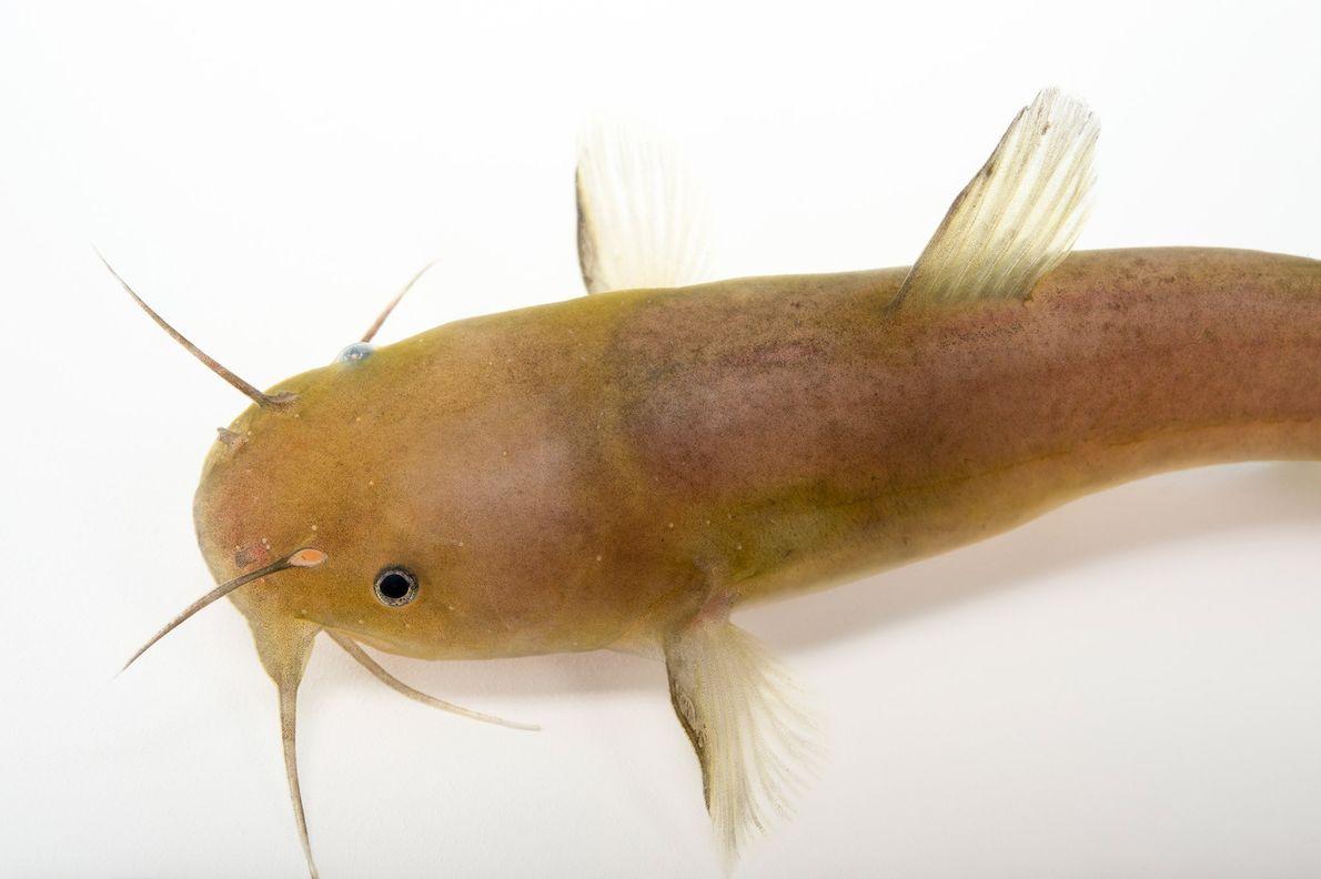 """Este """"Noturus funebris"""" fue capturado en el río Amarillo, en Florida."""
