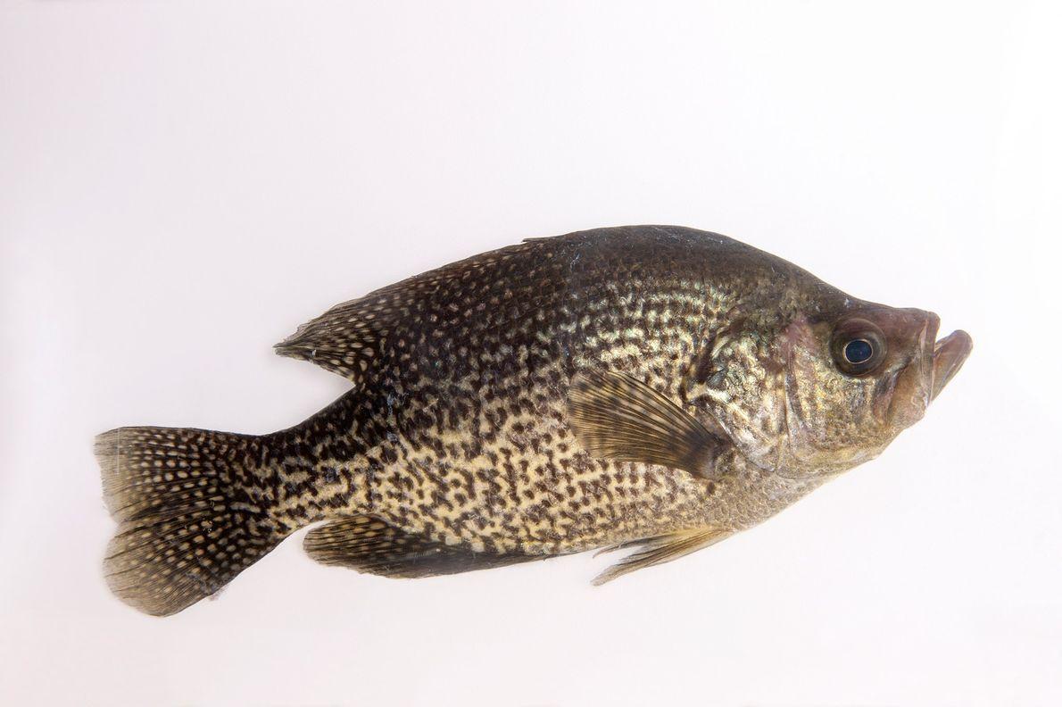 """La """"Pomoxis nigromaculatus"""" (mojarra negra) puede alcanzar un peso de más de dos kilos."""