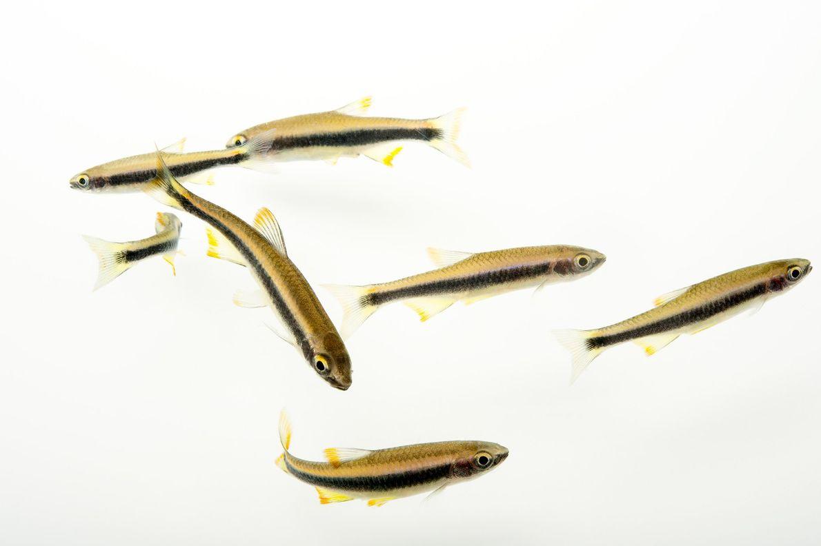 """Los """"Pteronotropis signipinnis"""" habitan ríos de menos de un metro de profundidad."""