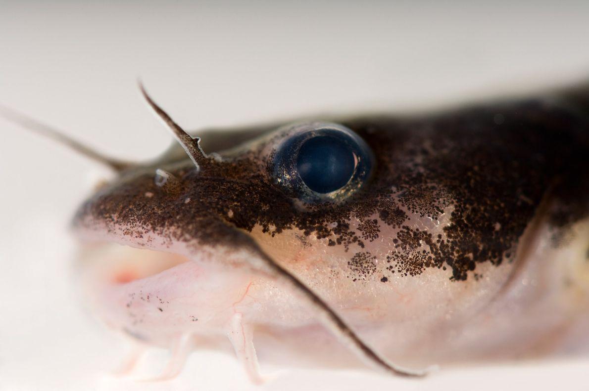 """El """"Noturus crypticus"""", emparentado con el pez gato, está en peligro crítico de extinción. Solo se ..."""