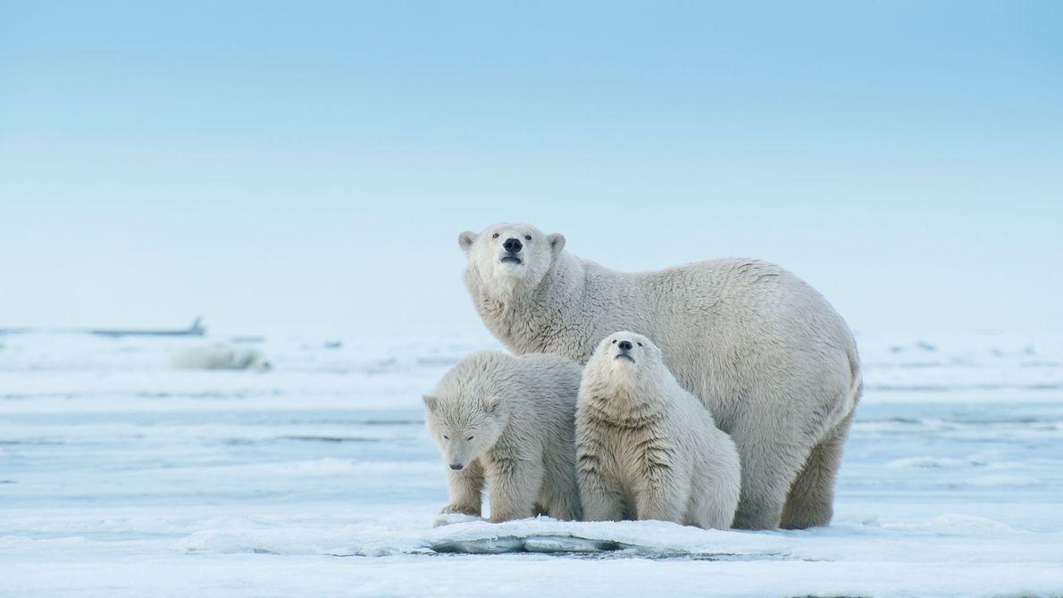 Un oso polar y sus cachorros exploran la superficie que se proyecta al mar de Beaufort, ...