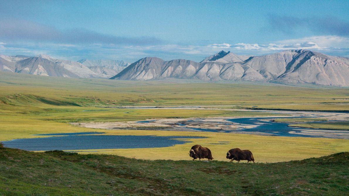 Con las montañas Sadlerochit por detrás, vemos dos Ovibos moschatus en escena y ninguna intervención de ...