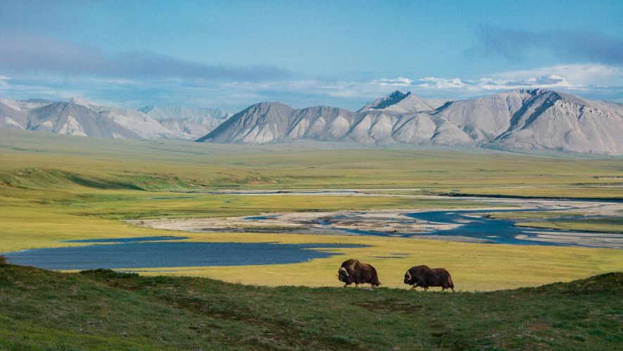 With the Sadlerochit Mountains rising in the distance, two muskoxen mosey through a scene devoid of ...
