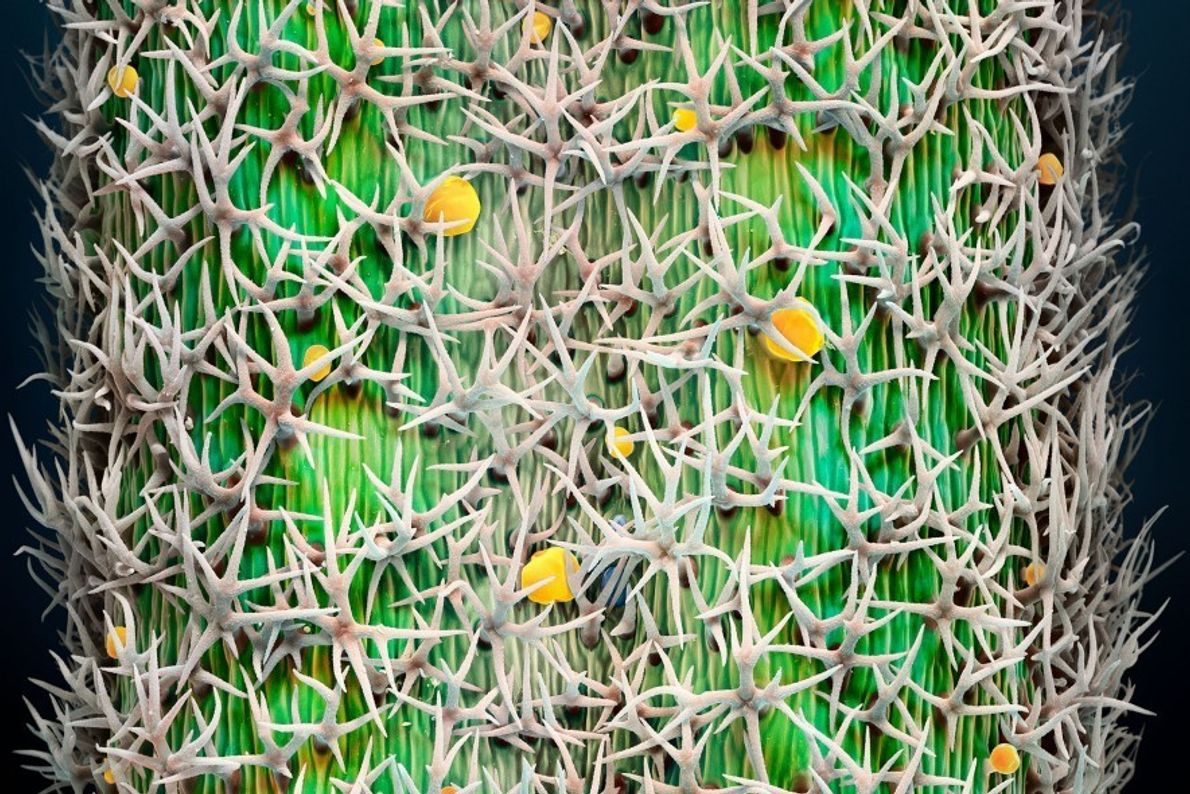 Lavanda (Lavandula spp.): Los globos (en amarillo), repartidos por los pelos espinosos de las hojas de ...