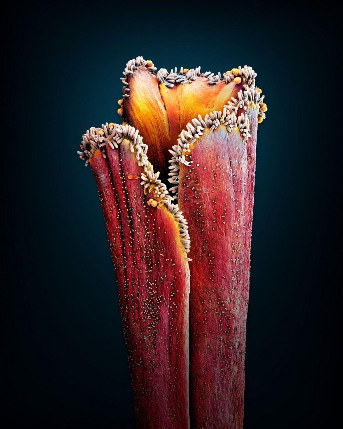 Azafrán (Crocus sativus): Unos 150 compuestos del estigma de la flor del Crocus sativus aportan al ...